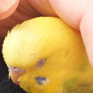 セキセイインコ 老鳥 きいたん